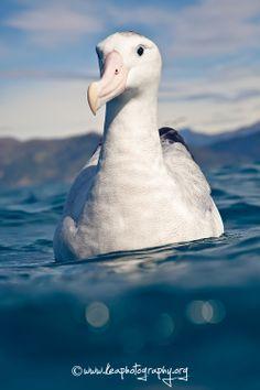 Wandering Albatross, Kaikoura, New Zealand. They have the largest wingspans of all living birds. Vertebrates, Sea Birds, Colorful Birds, Fauna, Marine Life, My Animal, Bird Art, Beautiful Birds, Animal Kingdom