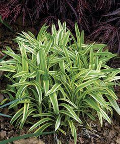 The Best Perennials for Sunny Borders (Shown: Variegated Lilyturf - Liriope muscari 'Variegata') Best Perennials, Plants, Liriope Muscari, Edging Plants, Pool Landscaping, Plants Sunny, Fine Gardening, Perennials, Grasses Landscaping