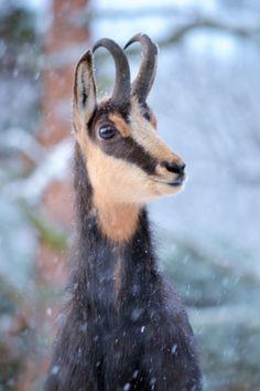 Un chamois du parc animalier d'Auvergne :-)