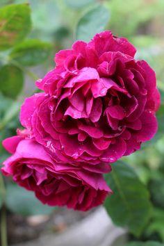 ~Hybrid Perpetual Rose 'Souvenir du Docteur Jamain' I love this rose, always…