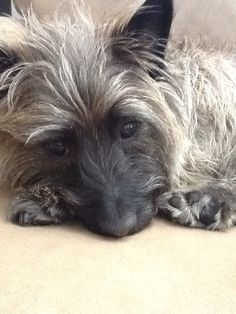 Carin terrier - I have one named Seamus! Cute Puppies, Cute Dogs, Dogs And Puppies, Terrier Dogs, Cairn Terriers, All Dogs, Best Dogs, Cairns, Scottish Terrier