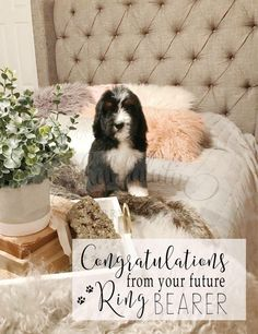 Future Ring Bearer     This is gonna be one special wedding!   Get your own Bernedoodle Puppy    www.highfalutinfurrybabies.com