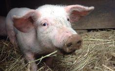 """""""O GRITO DO BICHO"""": Caminhão vira e 16 porquinhos sortudos escapam de ..."""
