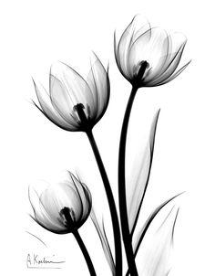 x ray tulip Parrot Tulips by Albert Koetsier Susan Spiritus Gallery Future Tattoos, Love Tattoos, Body Art Tattoos, Tatoos, Inspiration Tattoos, Tattoo Ideas, Xray Flower, Flower Art, Flower Prints