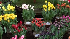 Tulips in Holland at Lenteflora Lisse part 5 - 19 feb 2016