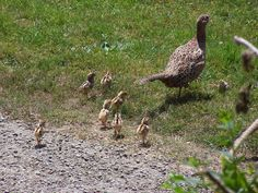 pheasants breeding