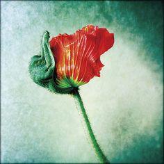 fleur | © Dominique Derisbourg