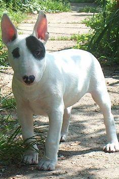 bull terrier   Bull Terrier #2