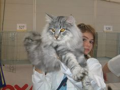 never had a  long haired cat before but if i did, it would be one of these Norwegian Forest Cats - look at the mitts on this guy!