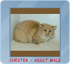 Red Bluff, CA - Domestic Shorthair. Meet Chester a Cat for Adoption.