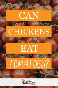 Your chickens can enjoy tomatoes just like they will do with other food. Tomatoes are healthy and are laden with different types of essential nutrients. Chicken Eating, Chicken Feed, Canned Chicken, Chicken Treats, Chicken Recipes, Is It Okay, Organic Eggs, Raising Chickens, Chickens Backyard