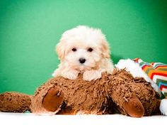 Chloe is our HAVANESE PUPPY FOR SALE IN OHIO!!!!