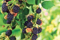 Úrodu černíc ovplyvní dobrý rez. Naučte sa, ako na to - Záhrada.sk