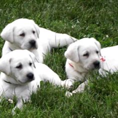 Love white labs!!!