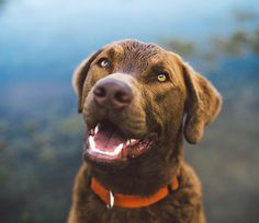 Rusty the 1yr old Chesapeake Bay Retriever.  Playing in the Zilker puddles. by zilkerbark