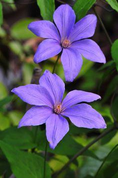 Clematis 'Delightful Scent' Sugar-Sweet Lilac™PPAF | Plants Nouveau