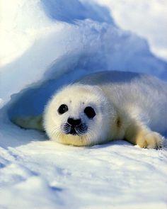 Baby harp seal, Magdallen Islands, Nova Scotia, Canada - ID: 13580591 © Jim Zuckerman Cute Small Animals, Cute Baby Animals, Animals And Pets, Funny Animals, Baby Harp Seal, Baby Seal, Beautiful Creatures, Animals Beautiful, Mon Zoo