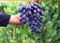 Sorta-vinograda