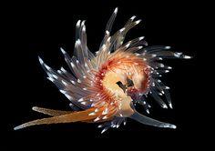 Sea slug Coryphella polaris. Alexander Semenov on Behance