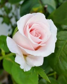 Pale pink roses, my favorite!