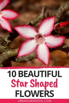 Star shaped flower guide - Here are 10 beautiful flowers shaped like stars to plant in your flower garden. #flowers #flowergarden