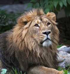 The King of the jungle in not only in Africa. Almost extinct, the Asiatic Lion still roams the land in the Indian sub-continent.