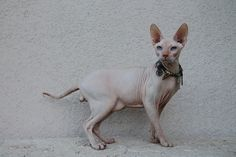 naked cats for sale naked cats, NADA Sphynx, Devon Rex, Lykoi, Cats ... #lykoicats - Know more at - Catsincare.com!