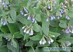 Smeerwortel (Symphytum grandiflorum 'Hidcote Blue'), mei, niet wintergroen