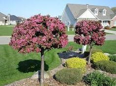 Image result for Indian Magic crabapple trees