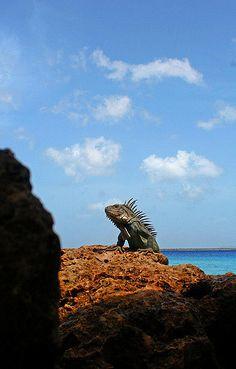 Bonaire | Lesser Antillean Iguana in Bonaire | Allan V. | Flickr