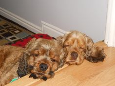 I'm a mother to 2 darling sable cocker spaniels named Georgie and Gracie.  They are 2 years old.  Love my pups!