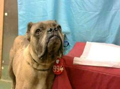 Terrified Cane Corso may have just had puppies and in need of rescue.---https://www.facebook.com/hashtag/a633584