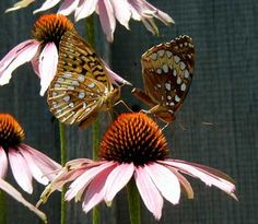 Butterflies love coneflowers (Echinacea), as these Great Spangled Fritillaries demonstrate! Photo by wildeherb.com
