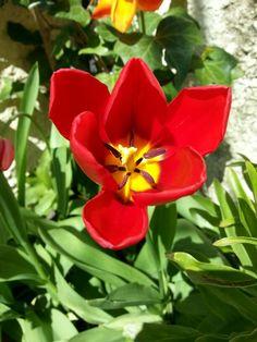 Tulipán breve