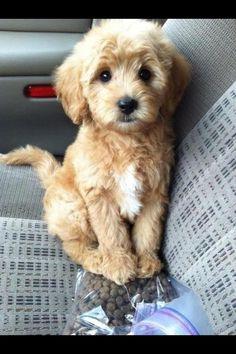 Precious poodle baby <3