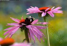 Doubledecker - kaunopunahattu punahattu Echinacea purpurea Doubledecker…