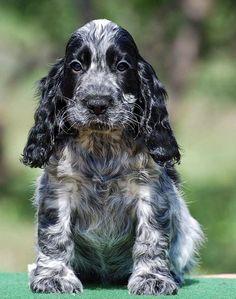 Kittens And Puppies, Cute Puppies, Cute Dogs, Blue Roan Cocker Spaniel, English Cocker Spaniel, Beautiful Dogs, Animals Beautiful, Animals And Pets, Cute Animals