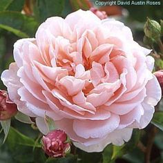 david austin roses for sale - Google Search