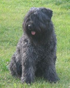 My dog lily is this breed, a Bouvier, too beautiful for words