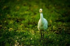 Egret Photo by Nikhil (Mace) — National Geographic Your Shot
