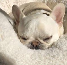 Theo, the French Bulldog, @theobonaparte on instagram