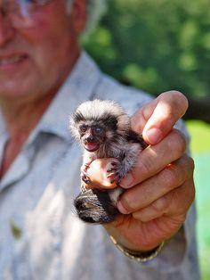 Tiny monkey (cotton topped tamarin) by Tambako the Jaguar,