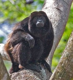 Black Howler Monkey (Allouata pigra) Most often heard around sunrise, much more a roar than a howl, announcing one's position as a means to avoid conflict with other groups; may be heard up to 3 mi away. Live in groups of 3-19 (avg 7-9) usually 1-3 males for every 7-9 females. Spend most of their time in the trees, only come down for water during dry spells. Sleeping or resting up to 70% of the day, these are the most laid back monkeys of the New World.