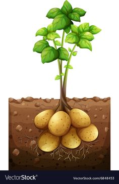 Potatoes plant under the ground illustration Vegetable Crafts, Home Vegetable Garden, Fruit And Veg, Fruits And Vegetables, Preschool Crafts, Crafts For Kids, Plant Lessons, Healthy Prepared Meals, Garden Mural