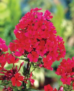 Phlox Starfire Plant ONLY from Mr Fothergill's Seeds and Plants. Profusion of fragrant, crimson blooms. Country Cottage Garden, Cottage Garden Plants, Cottage Gardens, Planting Bulbs, Planting Flowers, Farm Nursery, Manor Farm, Hardy Perennials, Unusual Plants