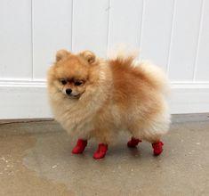 Cutest Pomeranian on the Planet!