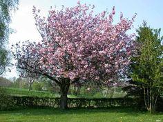 Japansk kirsebærtræ Garden, Plants, Outdoor, Outdoors, Garten, Lawn And Garden, Flora, Gardening, The Great Outdoors