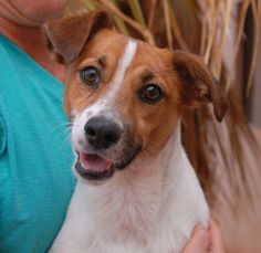 Stanley is a young, cheerful boy with remarkable stature.  We believe he is a blend of Jack Russell Terrier & Harrier, medium-size, 1 year of age, now neutered and debuting for adoption today at Nevada SPCA (www.nevadaspca.org).  Stanley likes dogs and kids and playing ball.  An active lifestyle routine is likely ideal.