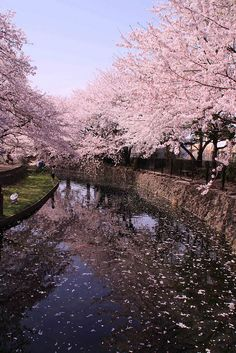 桜 ,cherry blossom, sakura, Japan Beautiful Places To Visit, Beautiful World, Cherry Blossom Japan, Cherry Blossoms, Sakura Bloom, Blossom Trees, Flowering Trees, Japan Travel, Belle Photo