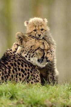 Mamá y cría de Guapardo